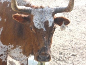 cow pics 210