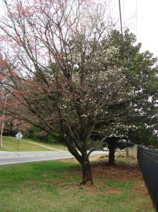 dogwood tree 001