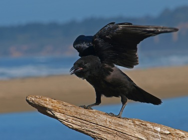 bird-crow-black-animal-53187